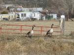 geese pair 2010