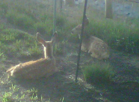 twin fawns 2011