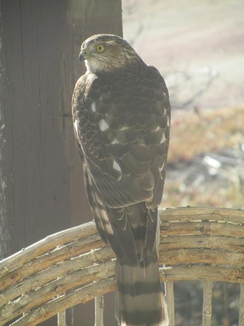 sharp shin hawk 12-2011