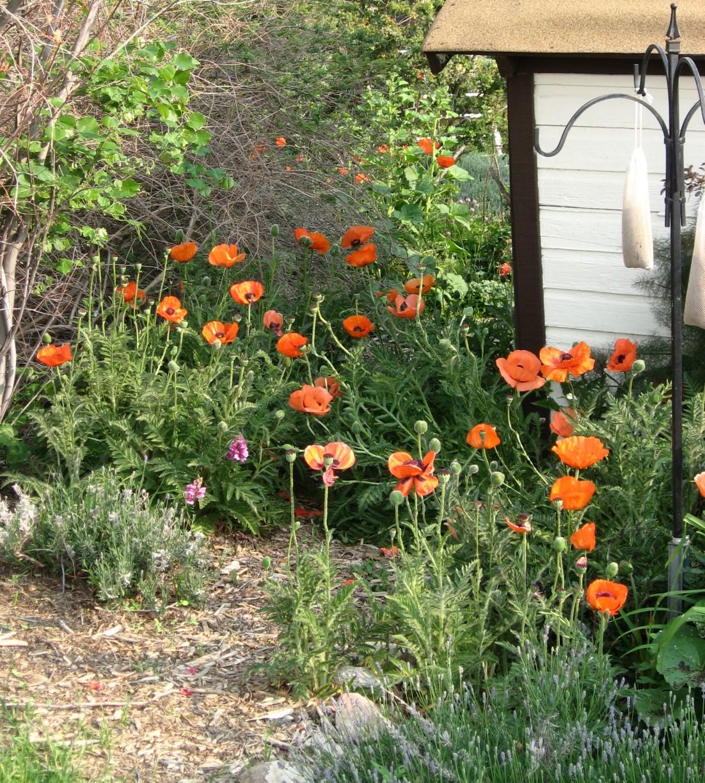 Little garden house - Oriental Poppies Brilliant Papaver Oritentalis Brilliant Orange Near The Little Garden House