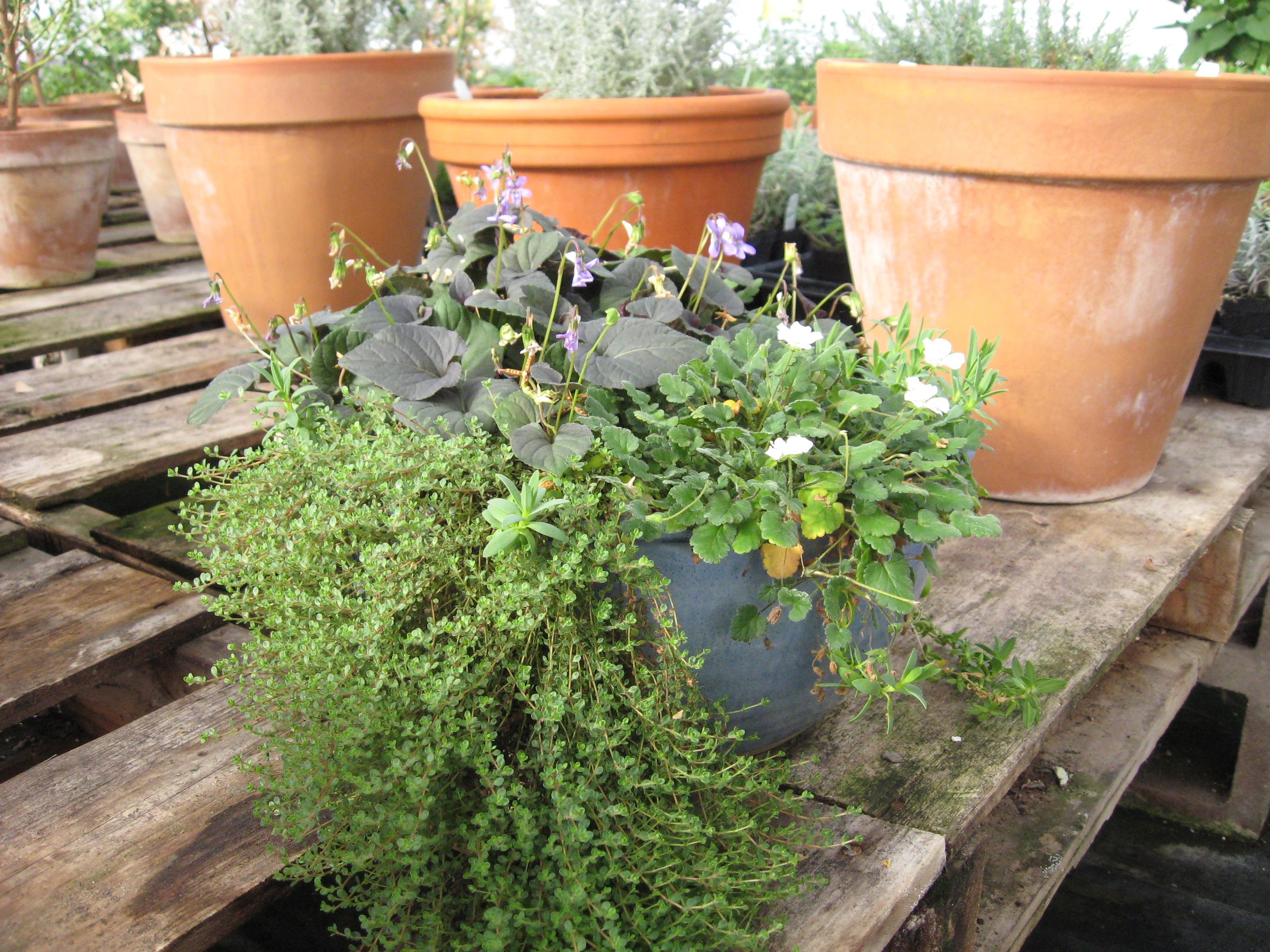 Fairy Garden Plants 013 Desert Canyon Farm Green