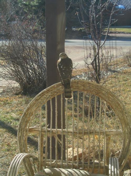sharp shin hawk 12-2011 3