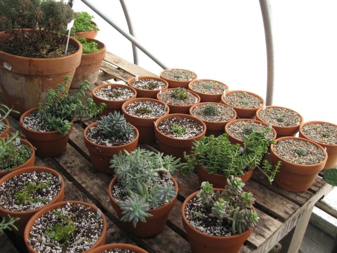 fairy garden plants 007