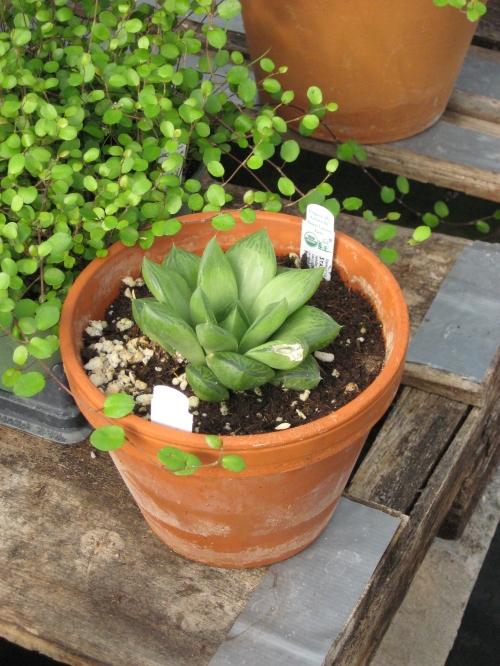 fairy garden plants 011