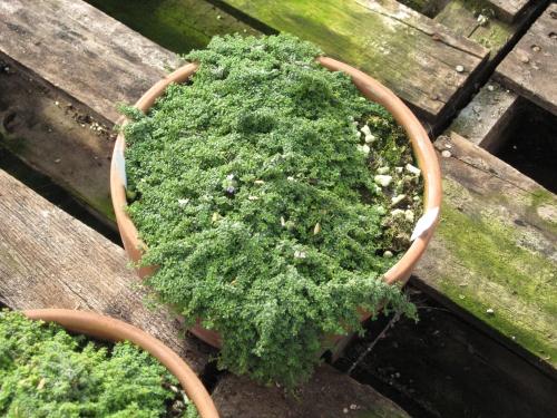 December 2 2012 more about miniature garden plants - Miniature fairy garden plants ...