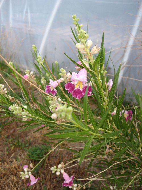 Chilopsis flowers