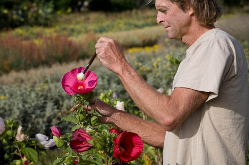 hibiscus pollinating