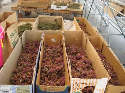 drying Saliva pachephylla seed 9-2013