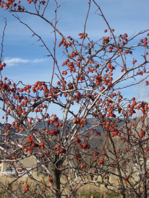 red leaf rose hips (2)