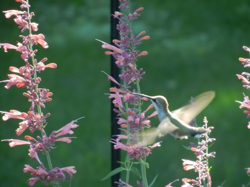 perennial favorites hummingbird 1