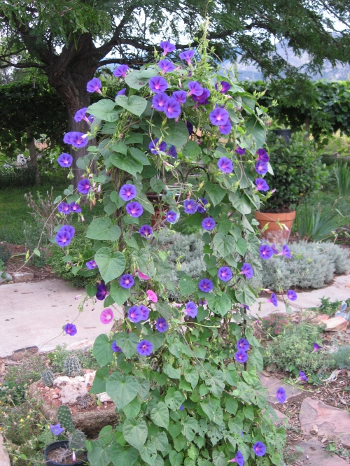 white rabbit garden 2014 grandpa Ott's morning glory
