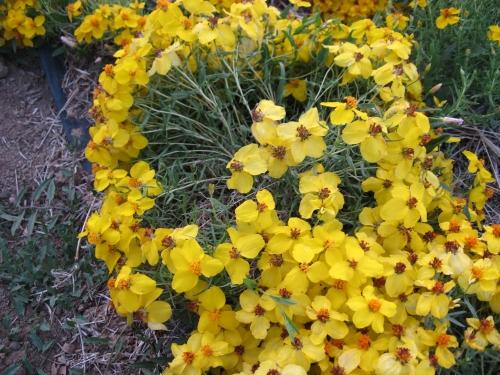 Zinnia grandiflora 3