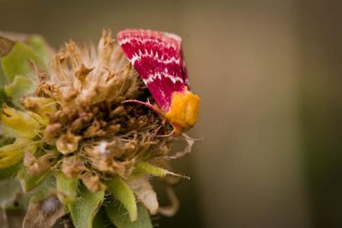 colorful moth pollinator