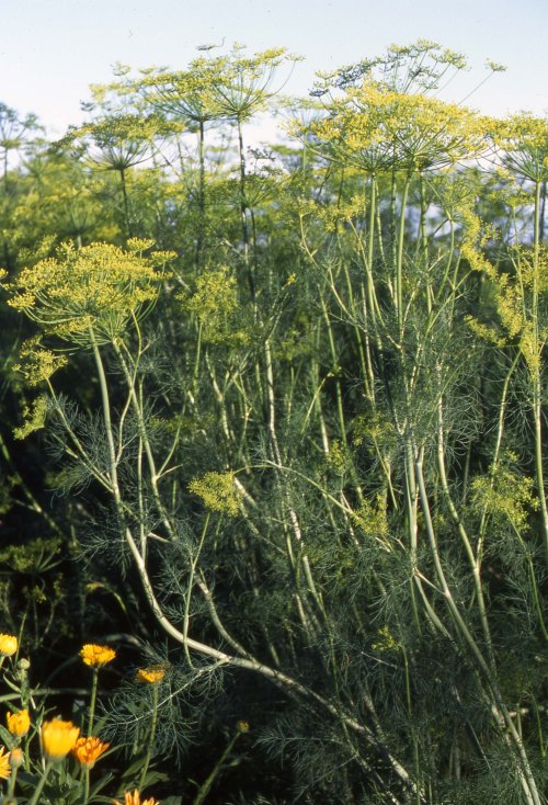 Florence_Fennel