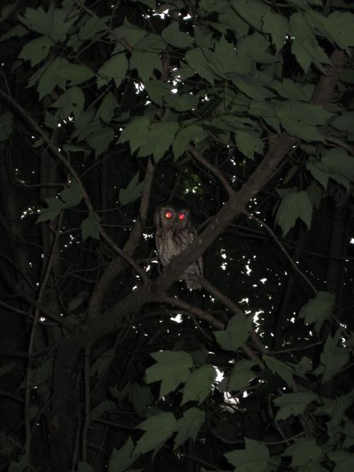 screech owls Lincoln 7-2015