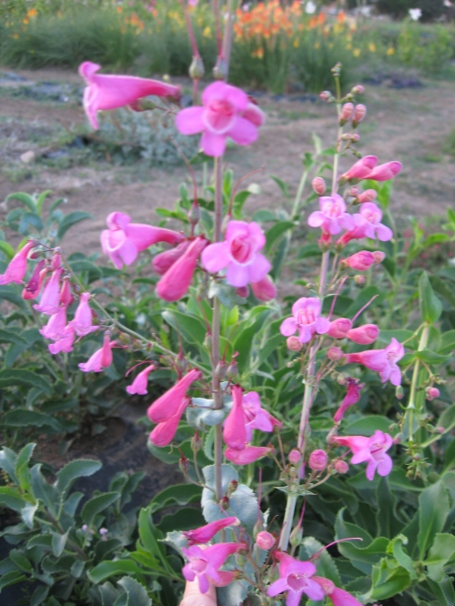 penstemon-garden gnome flowers 025